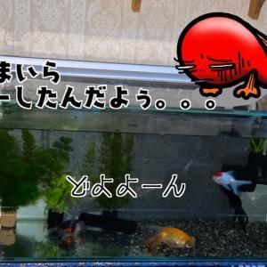 白点だヨ!全員罹患☆水槽リセットォォ!