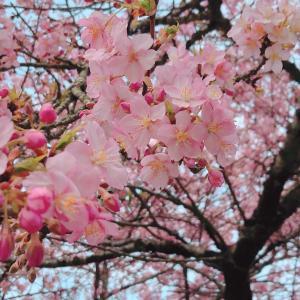 青野原の桜