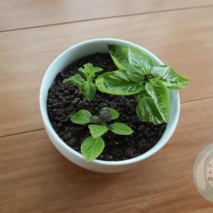 バジルとミントを室内栽培