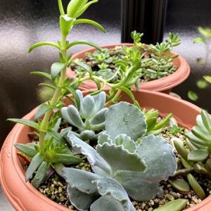 日照不足で多肉植物がヒョロヒョロに│オルトラン(薬剤)の独特なニオイに困惑
