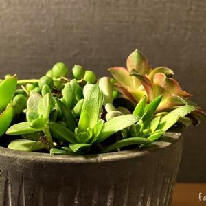 100円で肥料を購入 多肉植物の寄せ植えを作ってみる