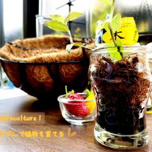 カフェオレみたい 炭とベラボンとゼリーのビンで植物を育てる ハイドロカルチャー