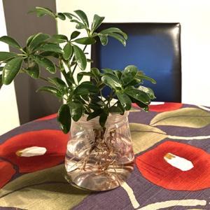 水栽ポットで植物を育てる ヤドリフカノキの水耕栽培