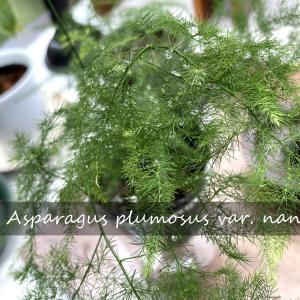 「アスパラガス」 プルモーサス・ナヌスを育てる グリーンのある暮らし
