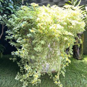 大きな鉢で育てるセダム万年草の作り方 グリーンのある暮らし