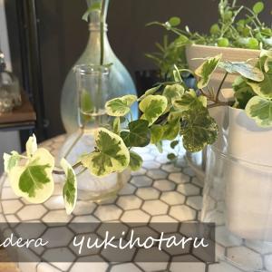 生産者「1人」の希少植物ヘデラ「雪ほたる」を育てる グリーンのある暮らし