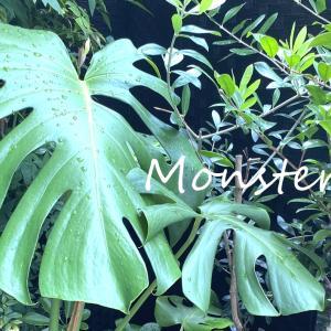やはりモンステラは強かった◎剪定後の新芽の様子 グリーンのある暮らし