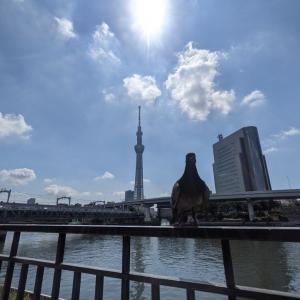 墨田川のハト