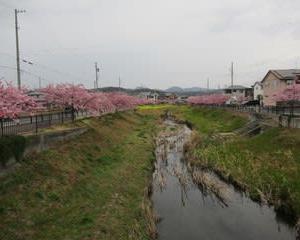 200222西古瀬川の豊川八幡桜