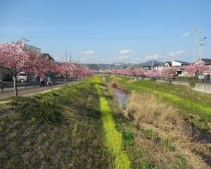 200221西古瀬川の豊川八幡桜