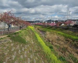 200217西古瀬川の豊川八幡桜