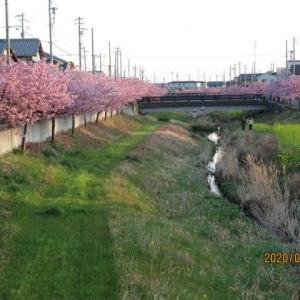 200224西古瀬川の豊川八幡桜が満開です