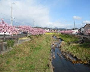 200223西古瀬川の豊川八幡桜が満開となりました