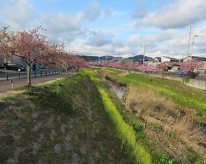 200218西古瀬川の豊川八幡桜