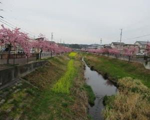 200220西古瀬川の豊川八幡桜