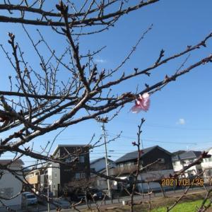 210125西古瀬川の豊川八幡桜