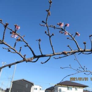 210131西古瀬川の豊川八幡桜