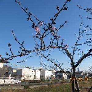 202106西古瀬川の豊川八幡桜