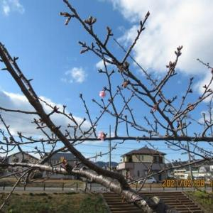 210208西古瀬川の豊川八幡桜