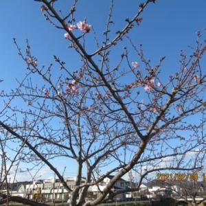 210209西古瀬川の豊川八幡桜