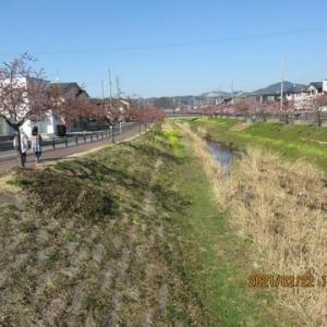 210222西古瀬川の豊川八幡桜