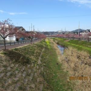 210223西古瀬川の豊川八幡桜