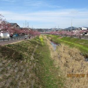 210225西古瀬川の豊川八幡桜