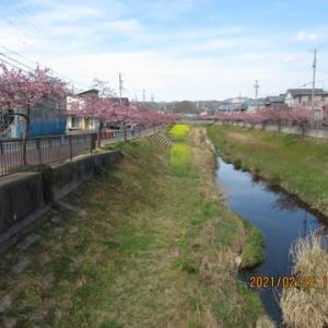 210227西古瀬川の豊川八幡桜
