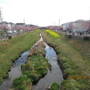 210228西古瀬川の豊川八幡桜が満開となりました