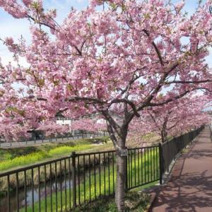 210304西古瀬川の豊川八幡桜