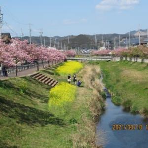 210310西古瀬川の豊川八幡桜は、若葉が目立つようになりました