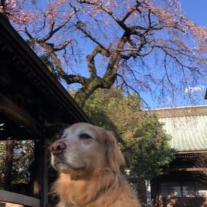 枝垂れ桜とハクモクレン