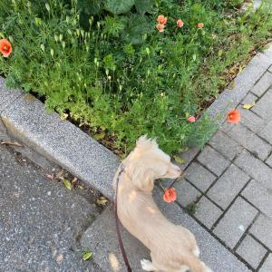 犬は花粉の運び屋なのか!?イネ科花粉症に苦しみ中