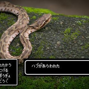 【沖縄の危険生物】もしもハブに出会ったら