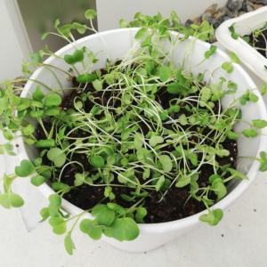 【家庭菜園#5】双葉間引いて植え替えてみる