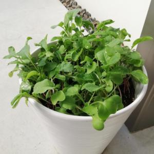 【家庭菜園#6】ラディッシュの成長具合と天敵襲来