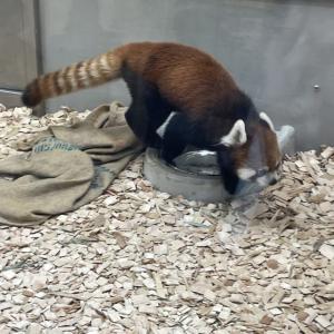 名古屋市内にある東山動植物園のレッサーパンダが可愛かった☆