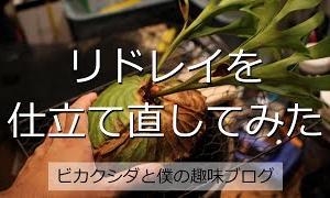 [ビカクシダ]リドレイを仕立てなおしてみた Platycerium ridleyi /コウモリラン/山採りリドレイ/貯水葉/蒸れ/板付け