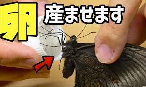 ミヤマカラスアゲハの卵を採ってみた!【昆虫採集】