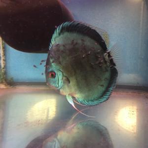 マイスター産 ブルークレスト稚魚の成長