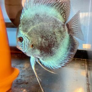 ブルークレストペアー稚魚が大量に孵化!