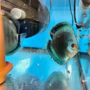 稚魚にブライン