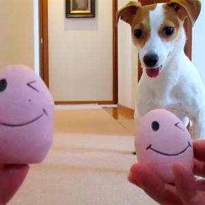 欲張りさんなマロンが、2個のピーピーボールを追いかけまわす動画です(^^♪ 動画もあるよ!