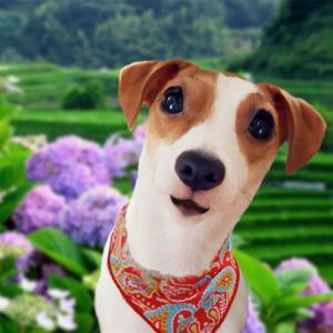 愛犬に童謡の「茶摘」を歌ってもらったら、途中から動きや姿が犬じゃなくなってきた動画(;^_^A