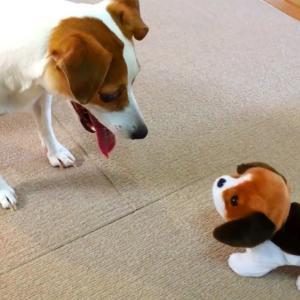 キツネ狩りモード発動?!マロンvsおもちゃの子犬(;^ω^)