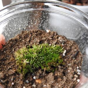 成長をしないなぁ うちの苔たち