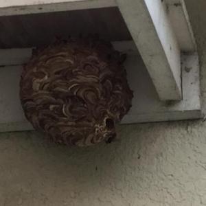 スズメバチがやっと大きな巣を作った!