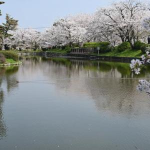 桜は手強く、ファインダー越しの僕をあざ笑う