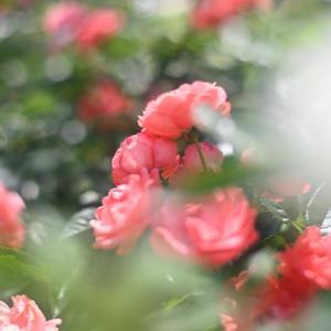CONTAX Planar 50/1.4T*で撮ったバラ ①