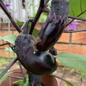 家庭菜園〜茄子、パプリカ、ゴーヤが急成長〜